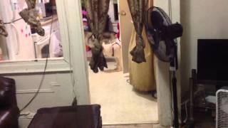 Siberian Husky Mating