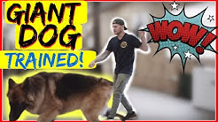 How to Stop a German Shepherd from pulling on the leash - Stop leash pulling now