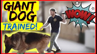 How to Stop a German Shepherd from pulling on the leash  Stop leash pulling now