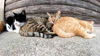 【三色猫団子】仲間のお尻を枕にしてぐっすりと眠る猫達