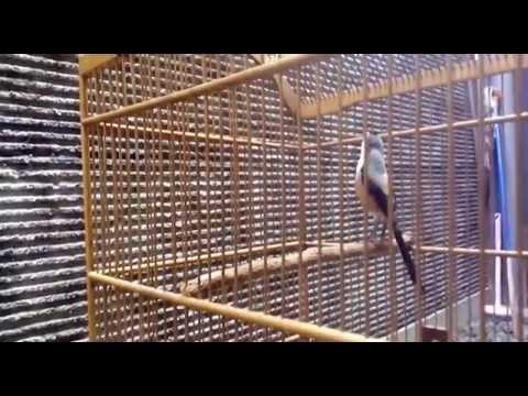 Cendet Madura Gacorr Suara Kristal - Bambang Wisanggeni