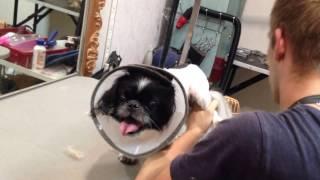 Стрижка злой собаки