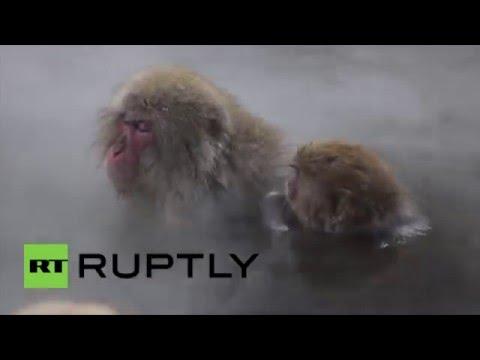 Au spa, au poil: ces macaques japonais se réchauffent dans des sources chaudes