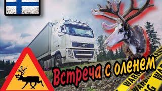 Лапландия - край оленеводов / Опасность на дороге!
