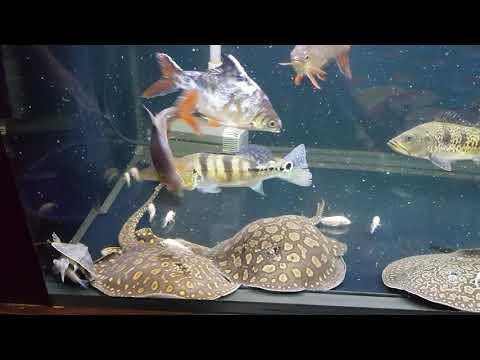 19 July 2017 Arowana Community Tank Vlog #161