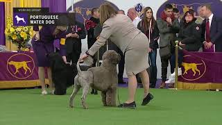 Portuguese Water Dogs | Breed Judging 2019