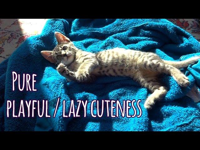 Pure cuteness: Playful yet lazy kitten Jonasek
