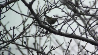 迷鳥 カラフトムシクイ Pallas's Warbler