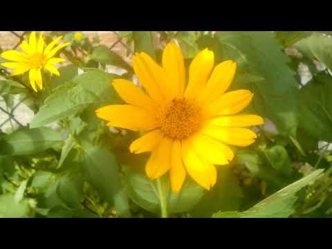 ЖЕЛТАЯ РОМАШКА, красивый цветок