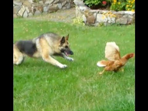 Dog Chasing Cat Video