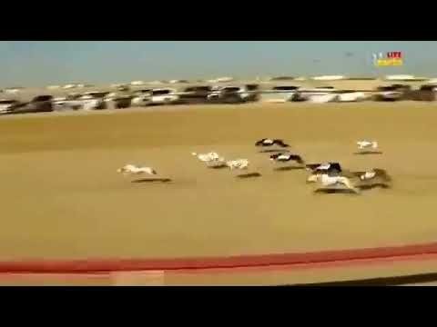 DOG RACE IN QATAR
