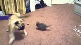 Pug and annoying kitten