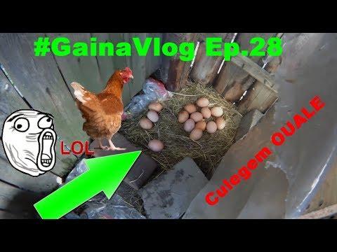 #GainaVlog Culegem ouale de la gaini Ep.28