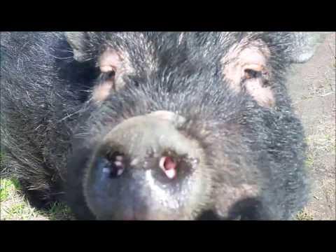 Чем болеют вьетнамские свиньи
