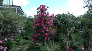 Красивые розы для северных районов которые не надо укрывать