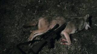 Coyote in Southeast MO