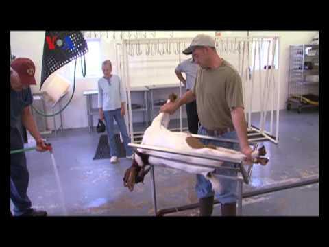 Rumah Potong Halal di AS - Liputan Feature VOA