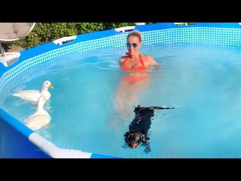 Dachshund, ducks, everyone in the pool.