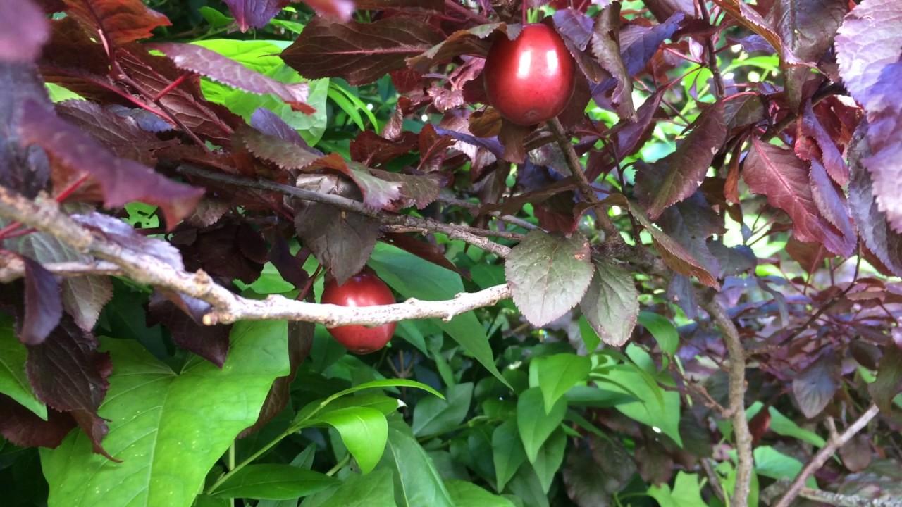 Educational Videos On Nature Purple Leaf Plum Fruit June 2017