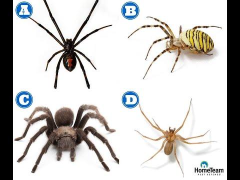 How to Identify Dangerous Spiders | HomeTeam Pest Defense
