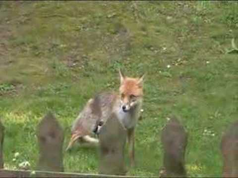 Magpies Pestering Fox