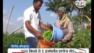 Green chilly's farming with profit in terrific heat in Kolhapur