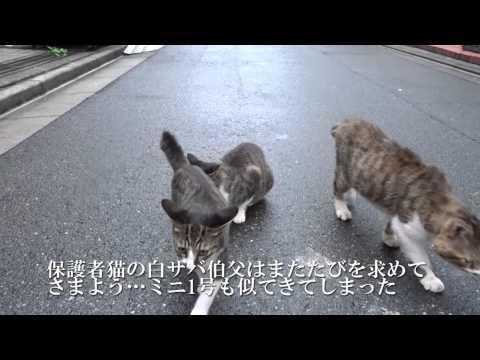 ハイテンションなミニ1号とミニ2号がいる白サバ子猫ファミリー(母猫+保護者猫2匹)。涼しくなった夏の日、路上を占拠して遊びだしていたので...