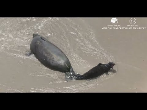 Hawaiian Monk Seal Pup Cam Day 15 Part 5 Kaimana Beach
