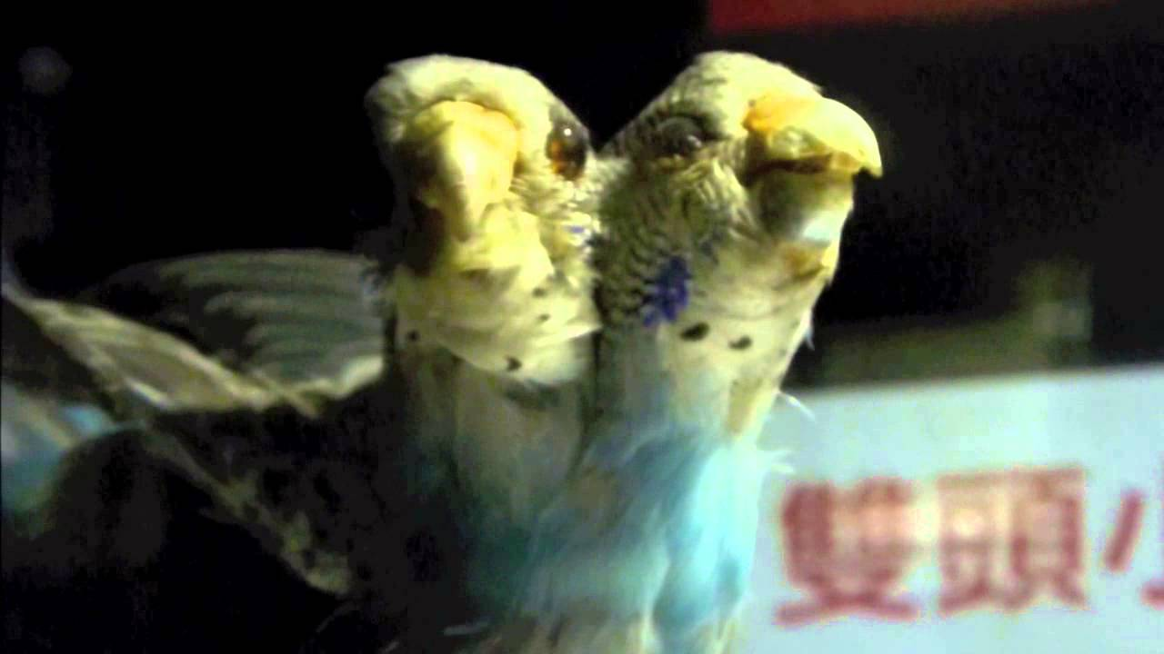mutant parakeet Gallery