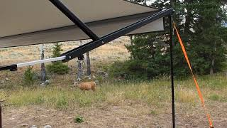 Deer in Campsite - Shell Creek Campground - Bighorn National Forest - Wyoming