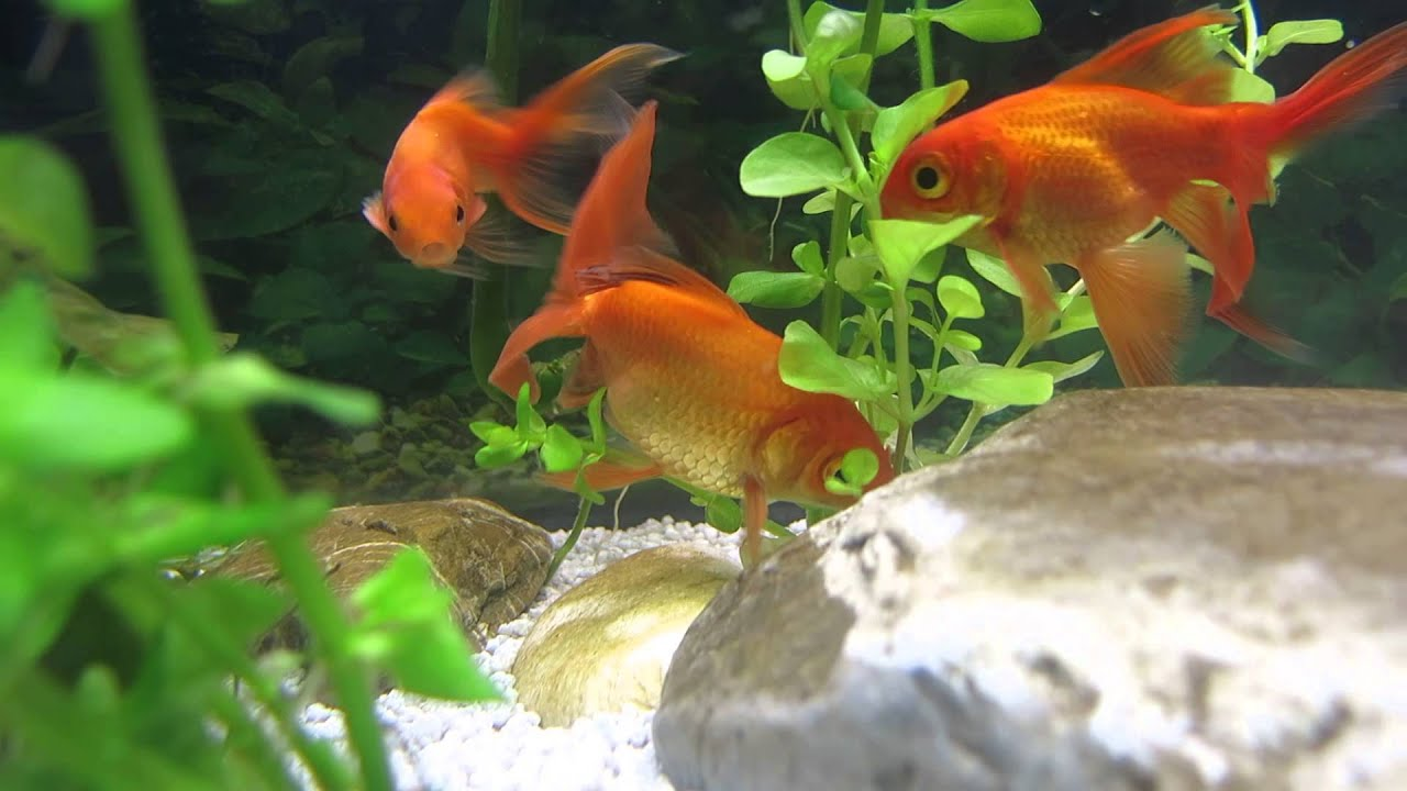 2 50 deposizione uova hd pesci rossi carassi youtube for Razze di pesci rossi