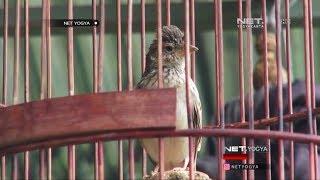 Burung Kicau Branjangan Wiring Kuning Srikayangan - NET YOGYA