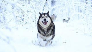 Самые счастливые собаки на снежной прогулке! Хаски и маламут в разносе!
