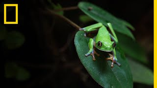 Amphibians Face Mass Extinction as Fungus Spreads Across the World | National Geographic
