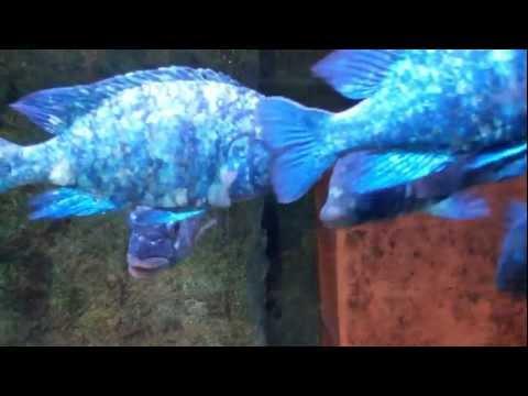 Placidochromis tank