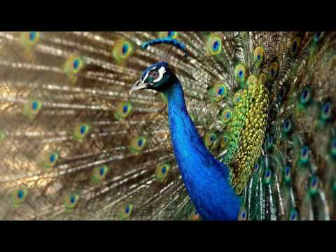 News Update Peacock trashes liquor store in California to tune of $500 06/06/17