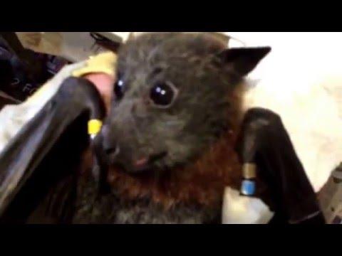 Няшная летучая мышь кушает фрукты