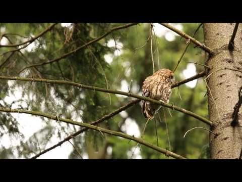 Puszczyk (Strix aluco) / Tawny owl - Mazury, Poland
