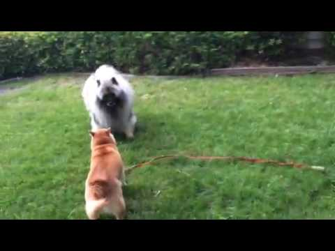 Bodhi the Keeshond Frolicking with Shinu