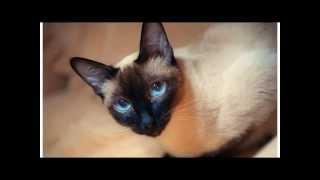 Тайская кошка одна из самых прекрасных пород кошек