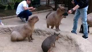 神戶動物王國進行採訪時遇見可愛的水豚君。