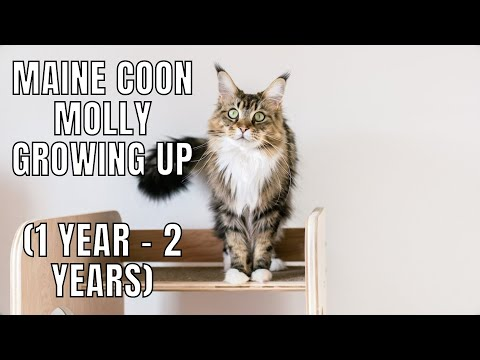 Maine Coon Molly Growing Up (1 Year - 2 Years)