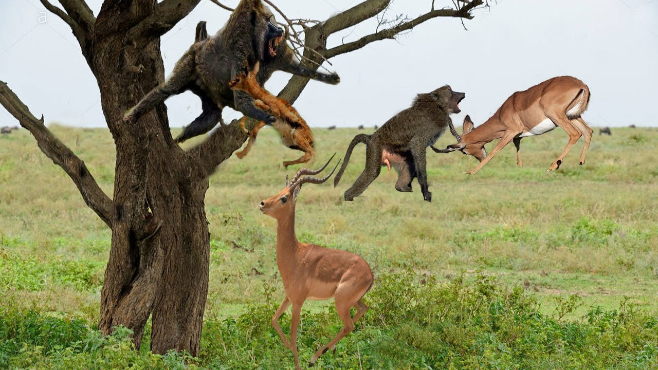 MOTHER IMPALA FAIL PROTECT HER NEWBORN FROM BABOON HUNTING | POOR BABY IMPALA