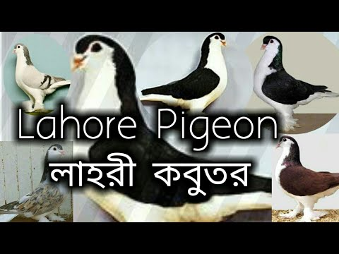 Lahore pigeon - Breed Introducing - NPAB Pigeon show - 2020