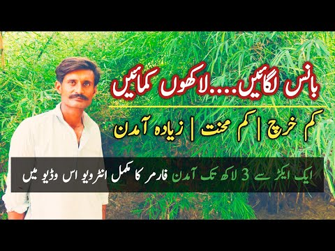 Bamboo Farming | Baans Farming | Interview of 20 years experienced Bamboo Farmer | بانس کی کاشت