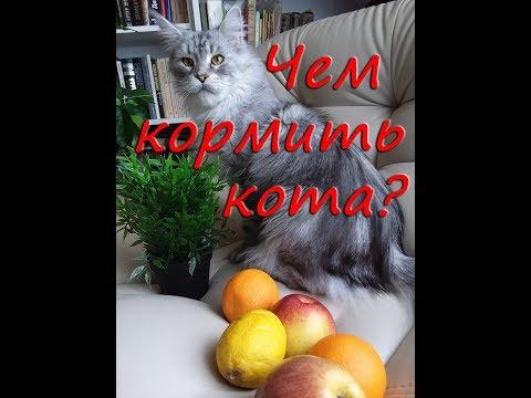 Питание породистых кошек. Мейн-куны