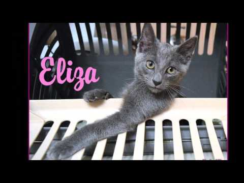 Eliza, the Russian Blue kitten, is ready for adoption!!