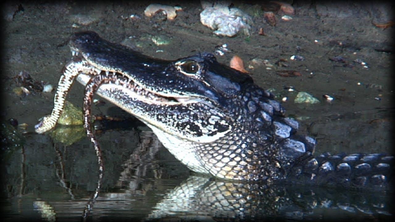 Alligator Eats Snake 01 Narration - 140.4KB