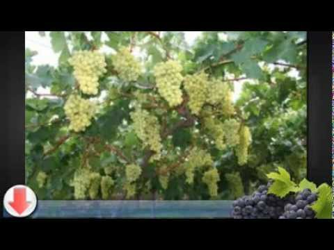 Simple Tips for Growing Grape Vines on a Trellis