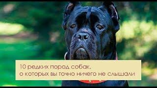 10 редких пород собак, о которых вы точно ничего не слышали